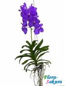 Орхидея Ванда синяя . Доставка по Киеву и Украине