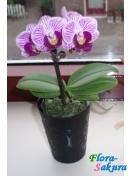 Орхидея Фаленопсис карликовая . Доставка по Киеву и Украине