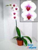 Орхидея Фаленопсис бело-розовая . Доставка по Киеву и Украине
