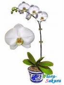 Орхидея Фаленопсис белая . Доставка по Киеву и Украине