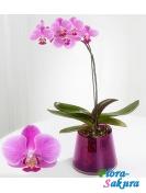 Орхидея Фаленопсис розовая . Доставка по Киеву и Украине