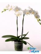 Орхидея Фаленопсис белая 2 стебля . Доставка по Киеву и Украине