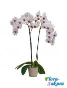 Королевская орхидея . Доставка по Киеву и Украине