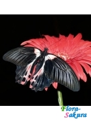 Бабочка Парусник Румянцева . Доставка по Киеву и Украине