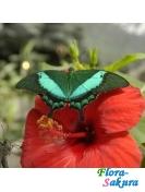 Зеленополосая бабочка-павлин . Доставка по Киеву и Украине