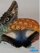 Бабочка Калиго . Доставка по Киеву и Украине