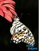 Бабочка Демолеус . Доставка по Киеву и Украине