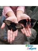 Доставка бабочек по Киеву . Доставка по Киеву и Украине