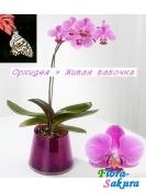 Орхидея в вазоне + живая бабочка . Доставка по Киеву и Украине