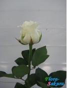 Роза белая голландская . Доставка по Киеву и Украине