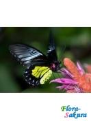 Бабочка крупная Золотая птицекрылка . Доставка по Киеву и Украине