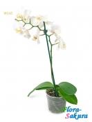 Орхидея белая в вазоне . Доставка по Киеву и Украине