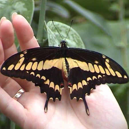Бабочка Парусник. Доставка по Киеву и Украине