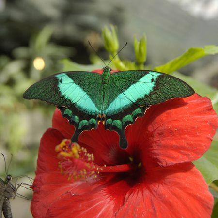Зеленополосая бабочка-павлин. Доставка по Киеву и Украине