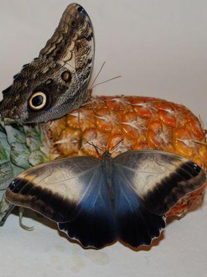 Бабочка Калиго. Доставка по Киеву и Украине