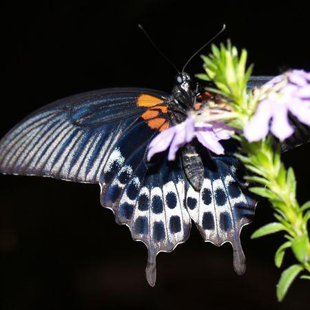 Бабочка Ласточкин хвост. Доставка по Киеву и Украине