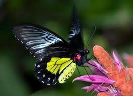 Бабочка крупная Золотая птицекрылка. Доставка по Киеву и Украине