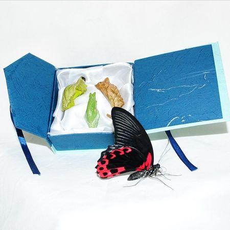 Коробочка с куколками бабочек. Доставка по Киеву и Украине